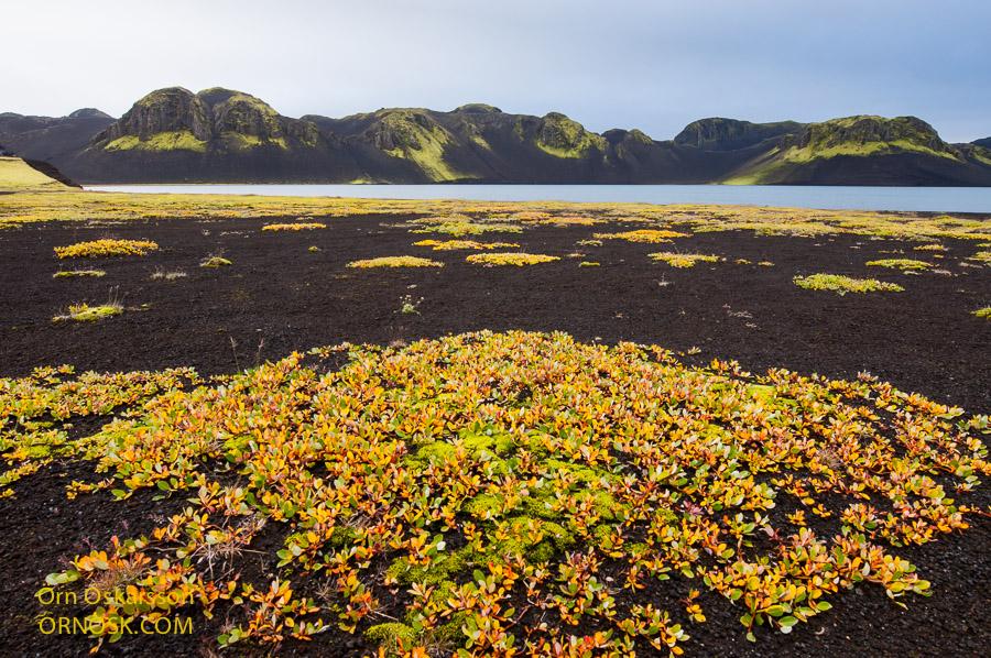 Fjallavíðir við Litlasjó